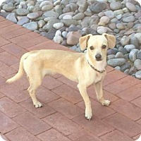 Chihuahua Mix Dog for adoption in Tucson, Arizona - Tequila