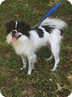 Border Collie/Pekingese Mix Dog for adoption in Greensboro, Maryland - George
