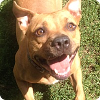 American Pit Bull Terrier/Boxer Mix Dog for adoption in South Park, Pennsylvania - Andorra