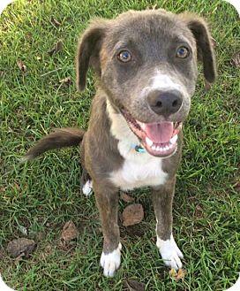 Anatolian Shepherd/Pointer Mix Puppy for adoption in Savannah, Georgia - Nickie