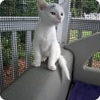 Turkish Van Kitten for adoption in Kinston, North Carolina - Prism