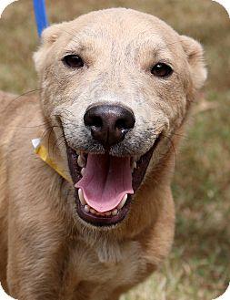 Shepherd (Unknown Type)/Collie Mix Dog for adoption in Glastonbury, Connecticut - Harvest~meet me~