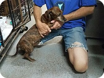 Dachshund/Terrier (Unknown Type, Small) Mix Dog for adoption in Lubbock, Texas - BOSS