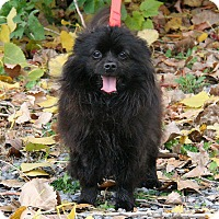Adopt A Pet :: Sydney - Gatineau, QC