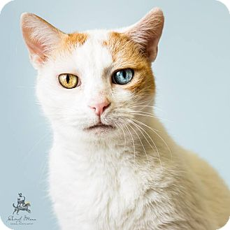 Domestic Shorthair Cat for adoption in Hendersonville, North Carolina - Parker