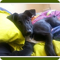 Whippet/Border Collie Mix Puppy for adoption in Duart, Ontario - Honey