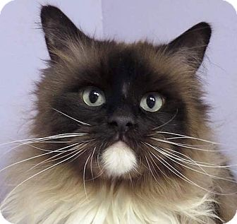 Birman Cat for adoption in Norwalk, Connecticut - Bugsy