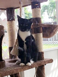 Domestic Shorthair Cat for adoption in Miami, Florida - Cats