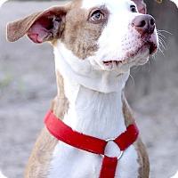 Adopt A Pet :: Stewie - Pensacola, FL