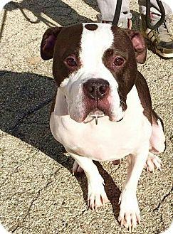 American Bulldog Dog for adoption in Chicago, Illinois - Atlas