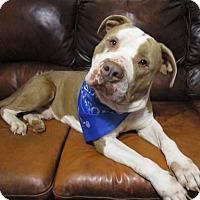 Adopt A Pet :: Puddin - Greensboro, NC