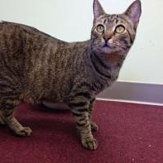 Domestic Shorthair Cat for adoption in Port Richey, Florida - Brooke