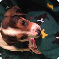 Adopt A Pet :: Maggie - Foristell, MO
