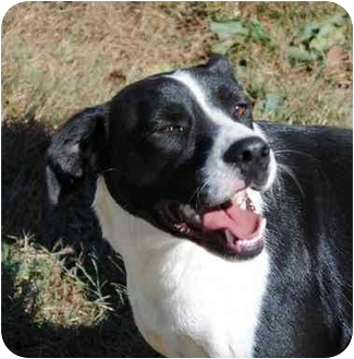 Border Collie Mix Dog for adoption in Poland, Indiana - Cheech