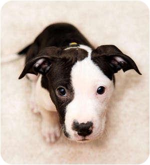 ... Puppy | Los Angeles, CA | American Pit Bull Terrier/Dalmatian Mix