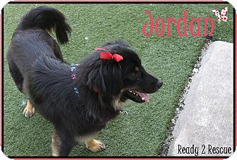 Australian Shepherd/Spitz (Unknown Type, Small) Mix Dog for adoption in Rockwall, Texas - Jordan