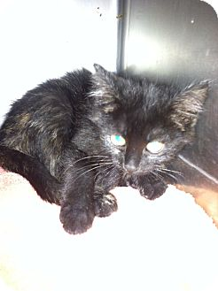 Domestic Shorthair Kitten for adoption in Fort Riley, Kansas - Artemis