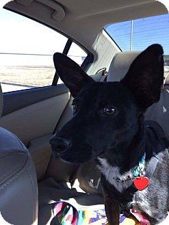 Terrier (Unknown Type, Medium) Mix Dog for adoption in San Antonio, Texas - Zeek