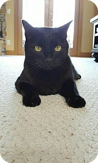 Domestic Shorthair Cat for adoption in Cincinnati, Ohio - zz 'Zeke' courtesy listing