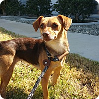 Dachshund/Beagle Mix Dog for adoption in Riverside, California - Becky