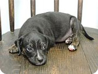 Labrador Retriever/Retriever (Unknown Type) Mix Puppy for adoption in Cottonport, Louisiana - Anna