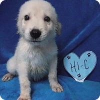 Adopt A Pet :: Hi-c - Batesville, AR