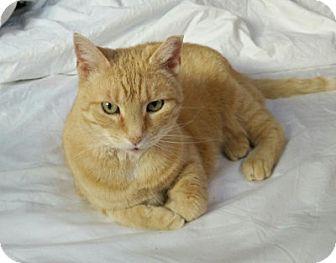 Domestic Shorthair Cat for adoption in Alexandria, Virginia - Rita