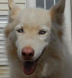 Siberian Husky Dog for adoption in Raleigh, North Carolina - Bobtail