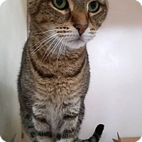 Domestic Shorthair Cat for adoption in North Haven, Connecticut - Sebastian