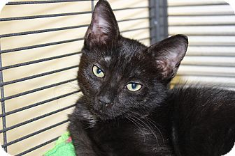 Domestic Shorthair Kitten for adoption in Sarasota, Florida - Classico