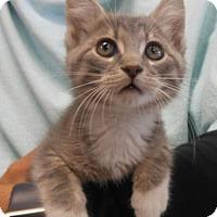 Domestic Shorthair Kitten for adoption in Reston, Virginia - Emmet