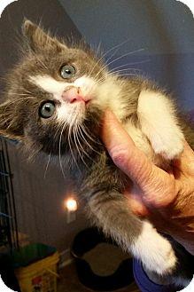 Domestic Shorthair Kitten for adoption in St. Louis, Missouri - Lucas