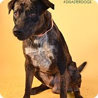 Catahoula Leopard Dog Mix Dog for adoption in Covington, Louisiana - Watts