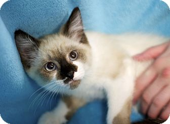 Snowshoe Kitten for adoption in Sioux Falls, South Dakota - Paisley