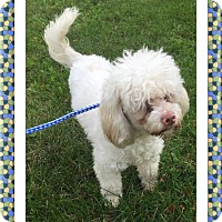 Bichon Frise Dog for adoption in Tulsa, Oklahoma - Scooby - IL