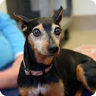 Miniature Pinscher Mix Dog for adoption in Denver, Colorado - Barley