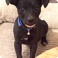 Adopt A Pet :: Pacheco - Denver, CO