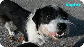 Terrier (Unknown Type, Medium) Mix Dog for adoption in Muskegon, Michigan - Sophie