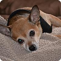 Adopt A Pet :: ChiChi - Long Beach, NY