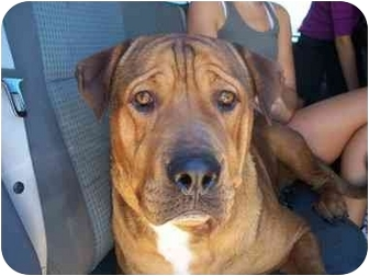 Rottweiler/Mastiff Mix Dog for adoption in Mesa, Arizona - BG
