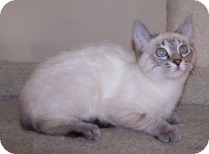 Siamese Kitten for adoption in Colorado Springs, Colorado - K-Tucker1-ZsaZsa