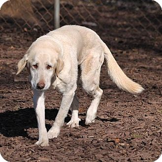 Labrador Retriever Mix Dog for adoption in Temple, Georgia - Haylie