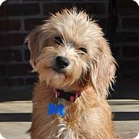 Adopt A Pet :: *Maxine - PENDING - Westport, CT
