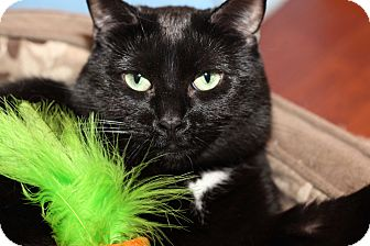 Domestic Shorthair Cat for adoption in Frankfort, Illinois - Sam