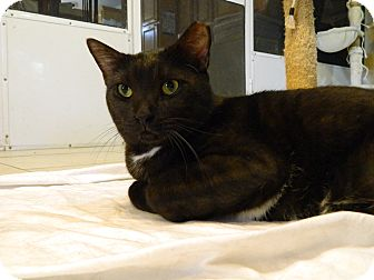 Domestic Shorthair Cat for adoption in Jupiter, Florida - Eight Ball