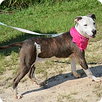American Bulldog/Labrador Retriever Mix Dog for adoption in Hazlehurst, Georgia - Mara