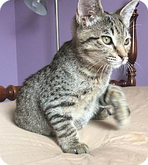 Domestic Shorthair Kitten for adoption in Youngsville, North Carolina - Simba