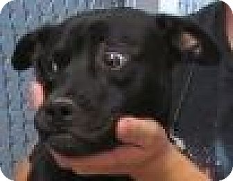 Pug/Australian Cattle Dog Mix Dog for adoption in Silver City, New Mexico - Nora