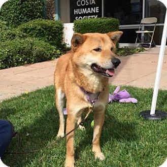 Jindo Dog for adoption in Pleasant Hill, California - Finn