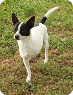 Rat Terrier Mix Dog for adoption in Newark, New Jersey - Gnash